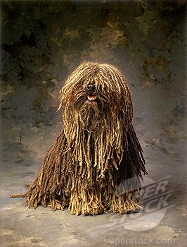 Stock Photo #1566-0176389, Puli dog