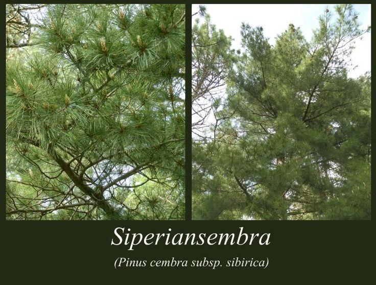 Siperiansembra - puulajipuisto