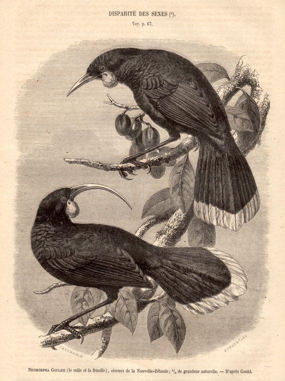 1860 Huia Bird Antique Print Wood Engraving Birds by Craftissimo