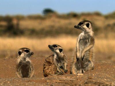 Meerkat Pictures: Meerkat Trio
