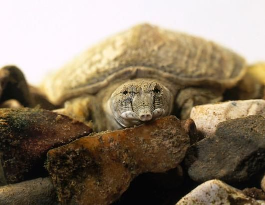 There are only four Red River giant softshell turtles left in the world. (Shame on China/Vietnam. see article http://www.conservation.org/newsroom/pressreleases/Pages/shell_shock_turtles_in_danger.aspx)