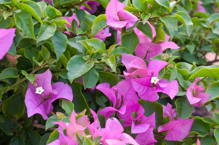 Plant Focus: Bougainvillea 'Tom Thumb' Bougainvillea 'Tom Thumb' is a compact plant (about 50 x 70 cm) with small lilac bracts. One cannot miss bougainvilleas when they are in full flower. Looking magnificent, they hang over walls, form dense impenetrable hedges, mimic bright carpets over pergolas and create explosions of colour in large containers. The warmer the summer, the prettier they become. Bougainvilleas are primarily classified as creepers or semi-creepers.