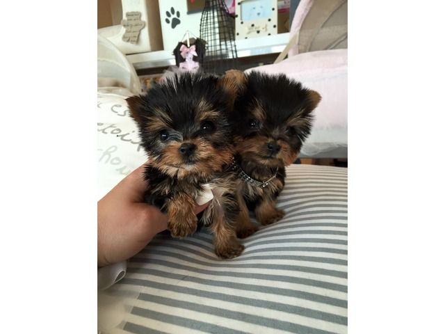 Teacup Yorkie Puppies For Adoption 215 596 1217 Teacup Yorkie Puppy Yorkie Puppy Yorkie Puppies For Adoption
