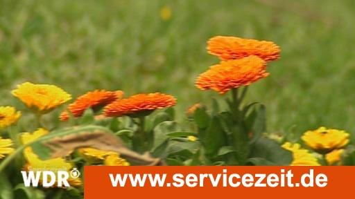 Kosmetik aus dem Garten: Ringelblumensalbe - Servicezeit - WDR Fernsehen
