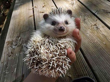 Conheça mais sobre o hedgehog ou ouriço pigmeu africano - PetMag