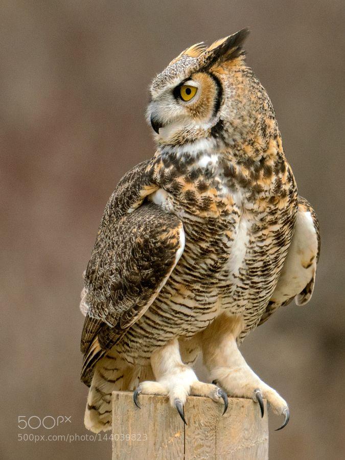 Great Horned Owl (keeping an eye on me) by PeterKBurian via http://ift.tt/1QUgIJ3