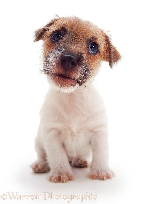 Dog: Jack Russell Terrier pup photo