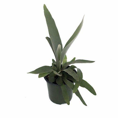 """Netherland Staghorn Fern - Platycerium - 4"""""""" Pot"""