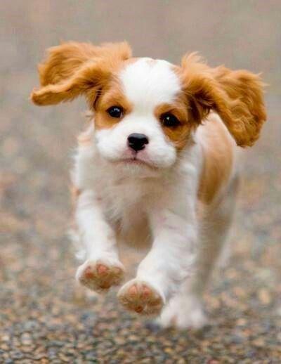 cavalier king charles spaniel puppies | Tumblr