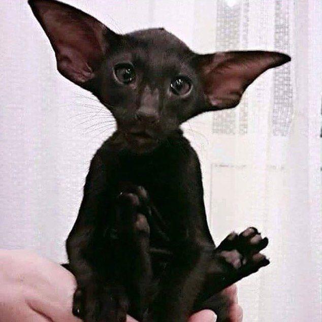 This Adorable Little Bat Cat Cat Breeds Rex Cat Cute Cat Breeds