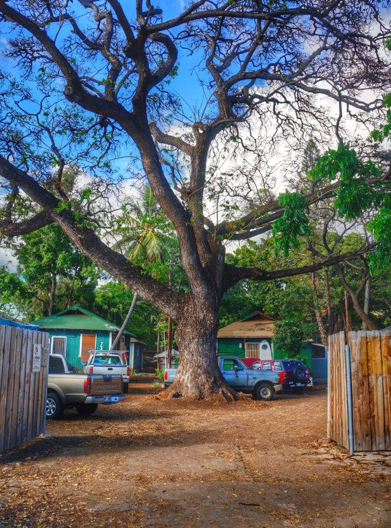 Tree growing in Lahaina by BottegaDesigns on Etsy