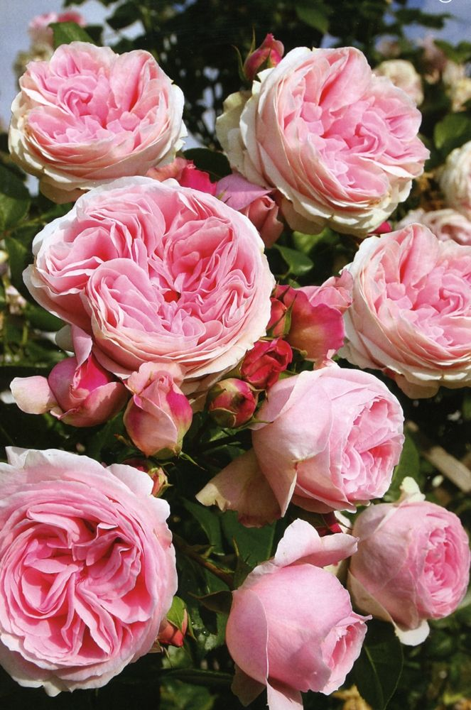 1000 images about mignonne allons voir si la rose on pinterest belle fragrance and pink roses. Black Bedroom Furniture Sets. Home Design Ideas