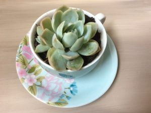 Succulents in teacups, little pots, concrete pots….