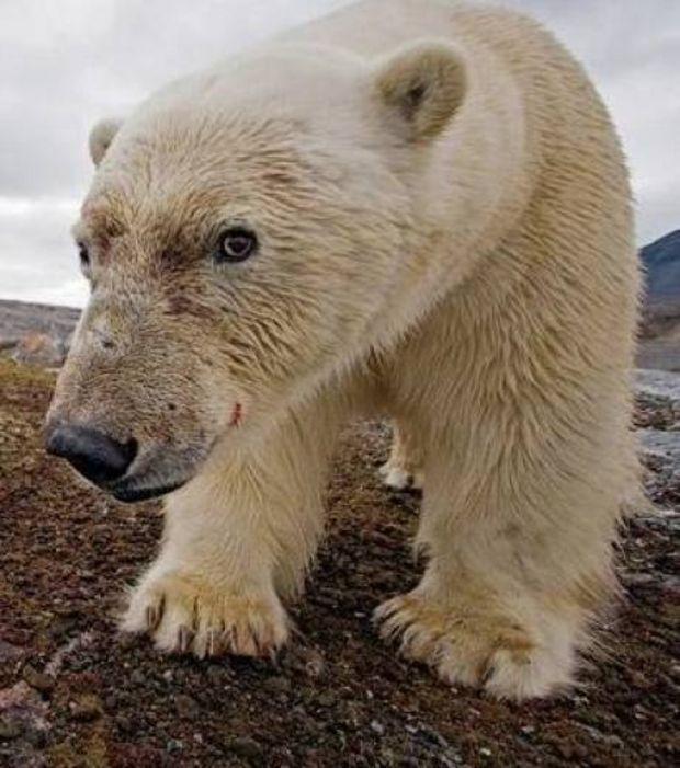 http://www.maxisciences.com/paul-nicklen/portrait-d-un-ours-polaire-intrigue_pic9124.html Portrait d'un ours polaire intrigué
