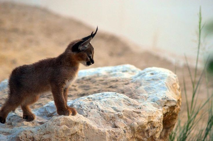 caracal kittens 10 Cutest Babies of Exotic Animals Living in The Desert