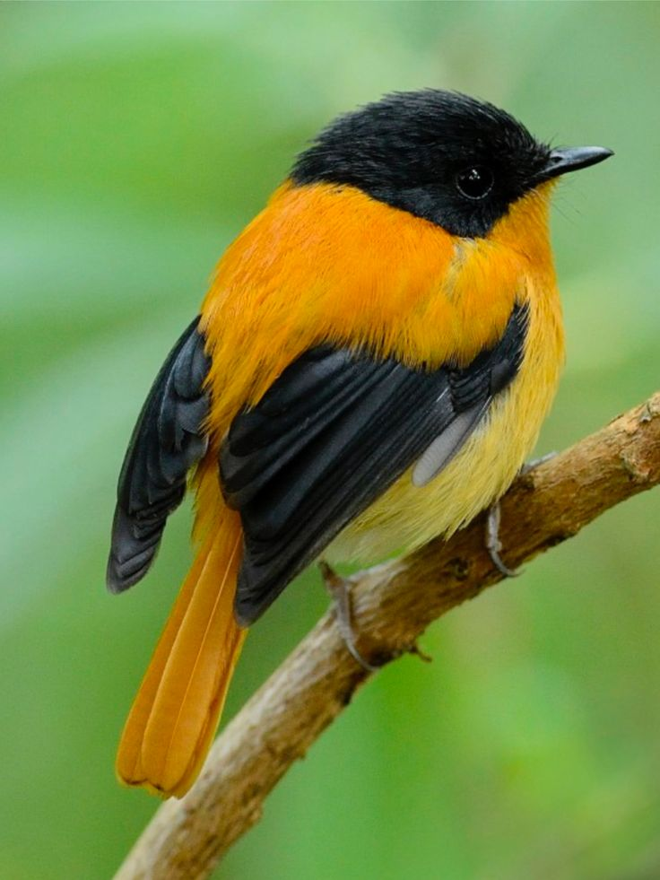 Black-and-orange Flycatcher, Ficedula nigrorufa, OW flycatcher: endemic to the Western Ghats, the Nilgiris & Palni hill ranges in S IN - @ Nandhini Raveendran