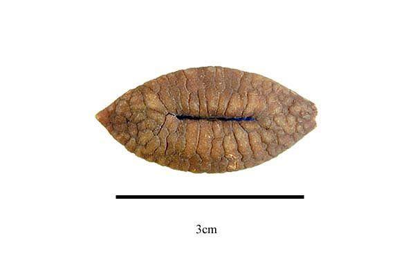 http://www.ars-grin.gov/npgs/images/sbml/Melodinus_orientalis_seed.jpg