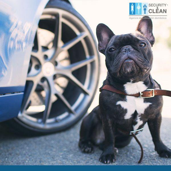#mascotas #hogar En época de frío los perros y gatos suelen recostarse bajo los carros en busca de calor, revisa antes de arrancar tu auto.