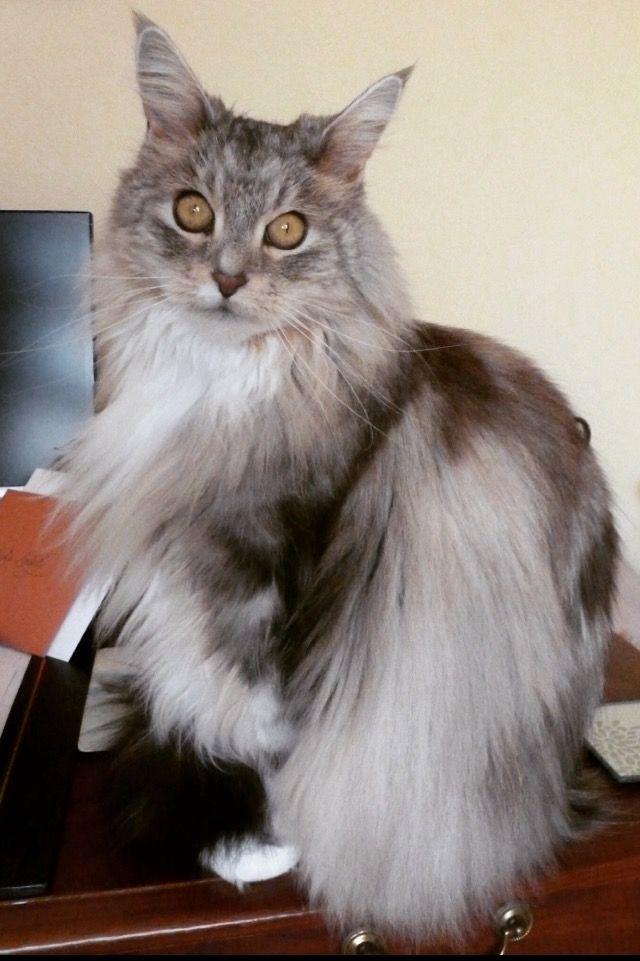 Serefina. Maine Coon cat.