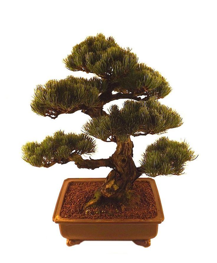 Die besten 17 ideen zu bonsai exterieur auf pinterest for Acheter plante exterieur