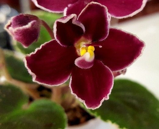 111 best African violets (I Want) images on Pinterest ... Red Violet Flowers