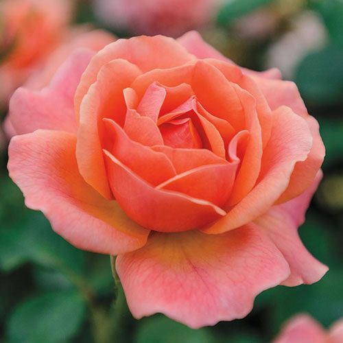 Easy Does It Rose At Spring Hill Nurseries