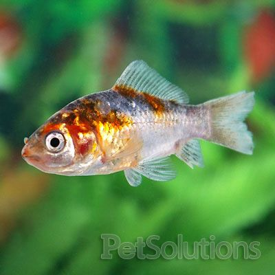 Shubunkins orfes sticklebacks pond pet care corner for Hardiest pond fish