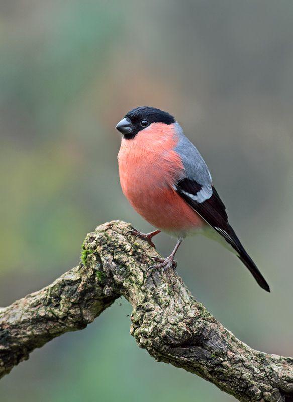 Bullfinch - My favourite little birdy mate