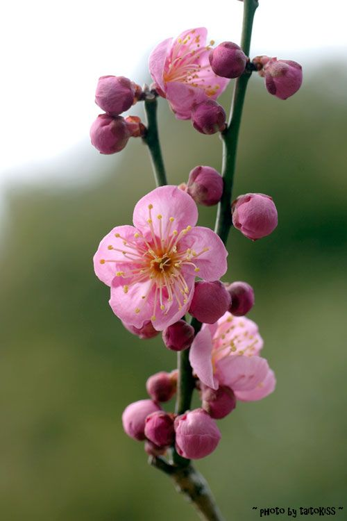 Plum Blossom, China