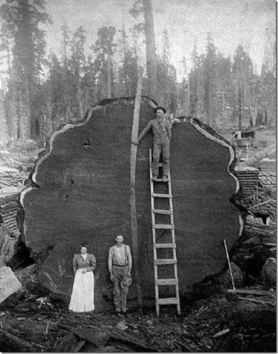 AMAZING!: History, Sequoia National Parks, Stuff, Logs, California, Giants Sequoia, Big Trees, Photography, Mark Twain