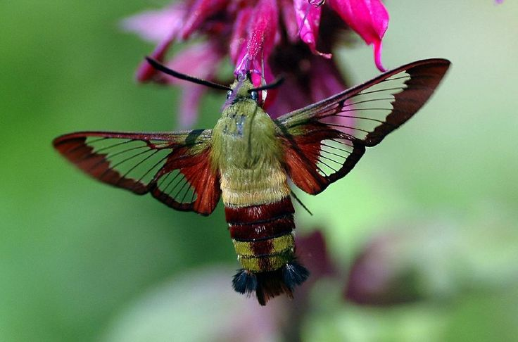 Clearwing Hummingbird Moth (Hemaris thysbe) On Monarda