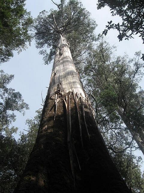 2nd tallest tree in the world, Strahan Tasmania Australia