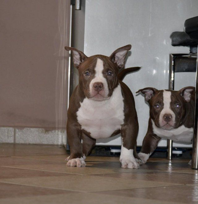Abkc Registered American Bully Puppies With Great Pedigree For