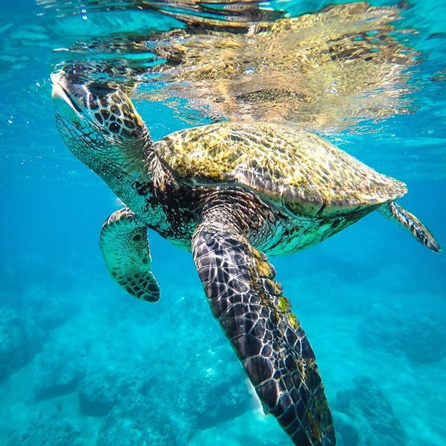 Honolua, Hawaii   My new friend # We met in #Hawaii last week  . . . . . . #LiveTheAdventure #Maui #Quebec_Travelers #NomadeMag #NomadJunkies #BeautifulDestinations #NeverStropExploring #natgeo #HiLife #HawaiiTag #tortuga #LetHawaiiHappen #Travel #Snorkeling #Honolua #natgeo #ourlonelyplanet #islandlife #turtleloversworld #waterworld…