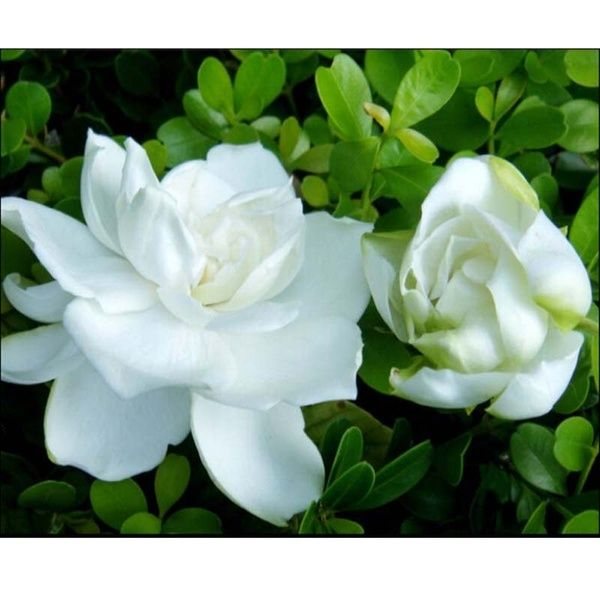 100pcs Cape Jasminoides Gardenia Fragrant Flower Seeds Shrub Plant Garden Asahinew Flower Seeds Planting Shrubs Flowers