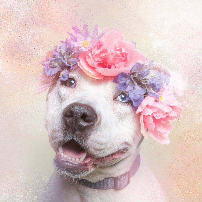 Artist Photographs Pit Bulls In Floral Crowns To Show Their Softer Side And Encourage Adoption