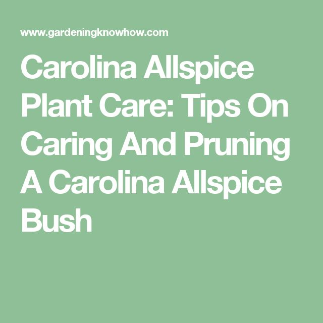 Carolina Allspice Plant Care: Tips On Caring And Pruning A Carolina Allspice Bush