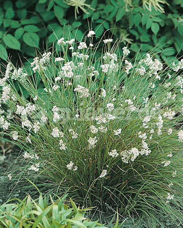 Snowy woodrush (Luzula nivea). A clump-former, it grows about 18 inches tall and is evergreen, with light green leaves and clustered white flowers in May to June.