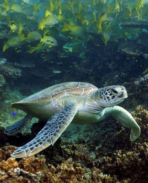 Une #tortue de #mer nage paisiblement dans les eaux claires de #Nouvelle…