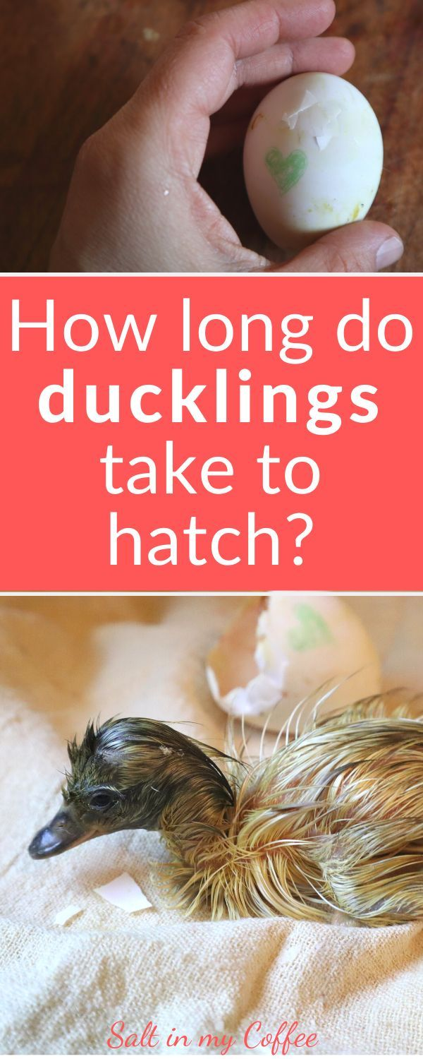 How Long Do Ducklings Take To Hatch Hatching Duck Eggs Ducklings Raising Ducks