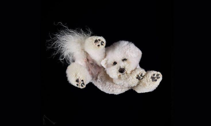 Ενα χαριτωμένο άσπρο πουντλ περιεργάζεται τον φακό-Ο λιθουανός φωτογράφος Αντριους Μπούρμπα είχε την τρελή ιδέα να φωτογραφίσει σκύλους, γάτες, κουνέλια και άλογα ανάποδα, τοποθετώντας τα πάνω σε ένα μεγάλο γυάλινο τραπέζι. Στις κωμικές αλλά ταυτόχρονα καλλιτεχνικές φωτογραφίες του βλέπουμε μια ασυνήθιστη όψη των αγαπημένων μας ζώων: μουσούδες να κοιτάζουν με περιέργεια και χαριτωμένες πατούσες που φαίνονται σαν να μας αγγίζουν…