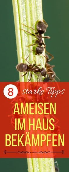 Más de 25 ideas increíbles sobre Ameisen im haus bekämpfen en - ameisen in der küche was tun