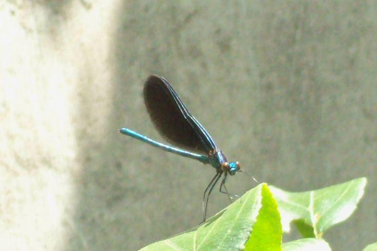 Ebony Jewelwing Damselfly taken at Quinte Conservation Quinte West ont.