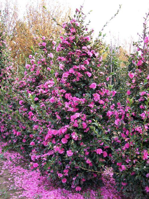 Sasanqua Camellia Varieties Olea Europea Camellia