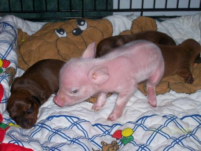 baby orphaned piglet adopted by dachsund