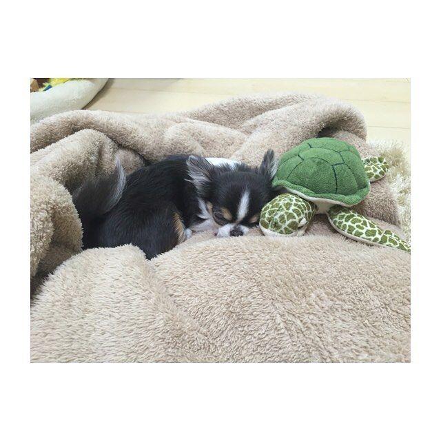 仲良く並んでおやすみ😪 #チワワ#チワワ部#犬#dog#5歳#1kg#ティーカップチワワ#ブルータンホワイト#極小#愛犬#親バカ#可愛い#いぬらぶ部#癒し#癒される#ベー#亀#ぬいぐるみ#おもちゃ#おやすみ#おやすみなさい#goodnight#チロル