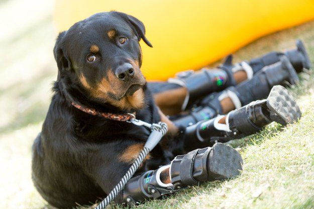 This Adorable Rottweiler Has Defied The Odds And Walks On Four