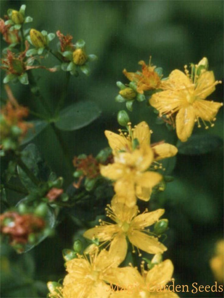 Kräutertee: Johanniskraut (Hypericum perforatum) kann als Tee zubereitet werden und hat eine stimmungsaufhellende Wirkung.