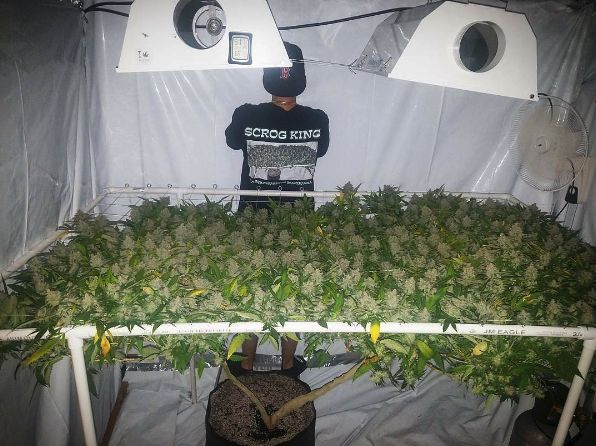 65 Best Cannabis Scrog Beauties Images On Pinterest