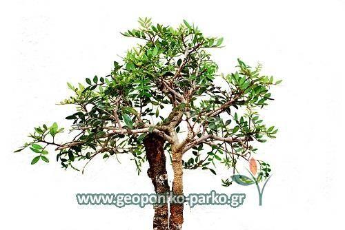 Ανθοφόρα - Καλλωπιστικά δέντρα : Σχίνος Μαιάμι δέντρο - Γλ. 7,5 lt | Schinus terebinthifolius